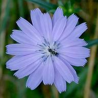 Chicory flower. A medium blue flower with many small rectangular petals radiating out from the center.